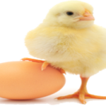 Poultry Egg Layer Farming